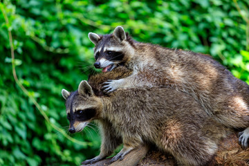 View of pair adult common raccoons on the green background