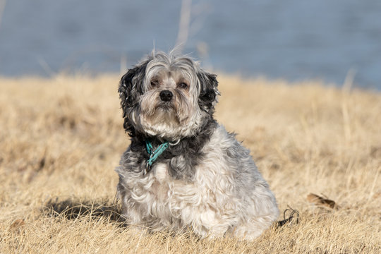 Lowchen Dog Photo shoot at state park