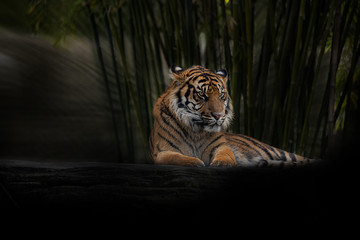 Twilight Tiger