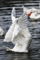domestic goose flapping wings