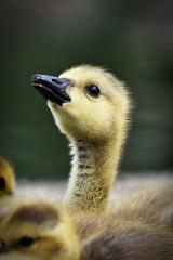 portrait of goose head looking up
