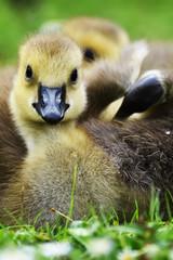 gosling sat on grass