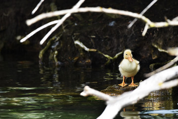 duckling stood on rock on lake