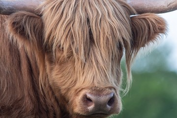 Fotobehang Koe A close up photo of a Highland Cow