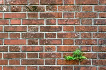 Bright green fern growing through an old brick wall