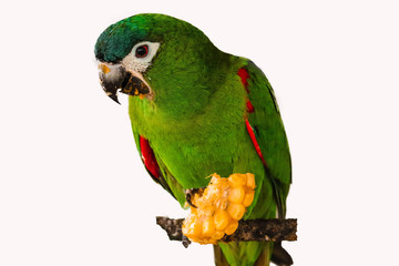 chestnut fronted macaw isolated.