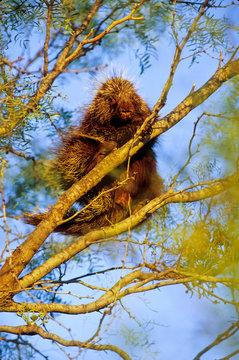 Porcupine In Mesquite Tree