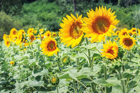 Ripe sunflowers in the field. beautiful countryside in summer. sunny weather with forested hill on the blurred background