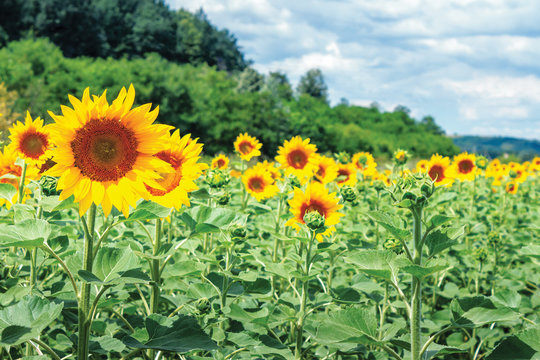 Ripe sunflowers in the field. beautiful countryside in summer. sunny weather with high clouds in the distance. forested hill on the blurred background