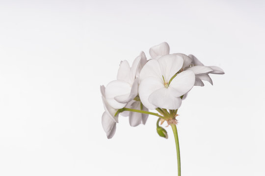 White Geraniums - Isolated Flowers
