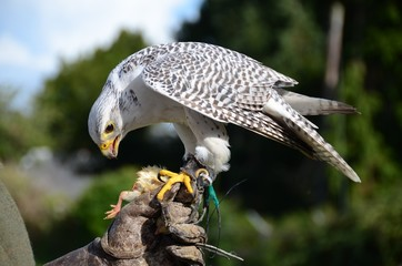 White falcon eating a chick at a bird of prey display Wall mural
