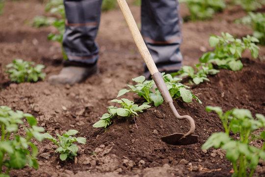 Senior elderly man reclaims soil with hoe on potato field. Concept eco farm vegetable garden