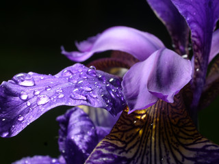 Photo sur Toile Iris Iris closeup, water drop, violet leaves, black background
