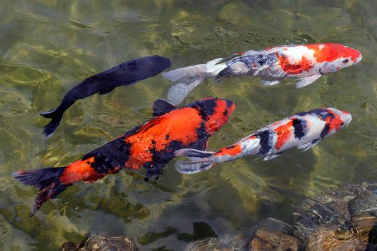 Colorful koi fish swimming in the lake