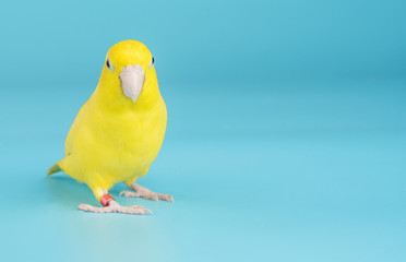 Bird parrot parakeet forpus american yellow color isolated on blue background 1 year old Fotomurales