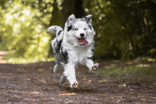 dog training in forest, australian shepherd running, looking at camera