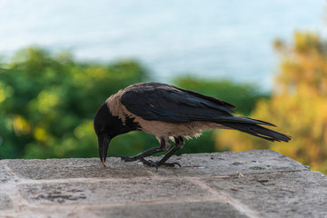 Crow eating small seed on a wall