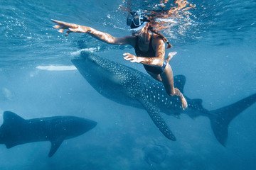 Woman snorkeling with whale sharks in deep blue ocean