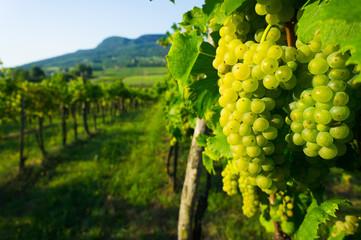 Wall Murals Vineyard wine grapes in vineyard sunrise, Badacsony hill at background, Hungary