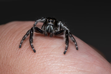 Black jumping spider on a human hand. A exotic invertebrate species on a close up horizontal picture.