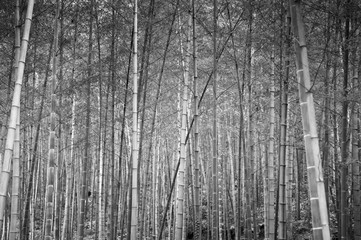 Lush and quiet China or Japan bamboo forest. Oriental Zen forest black and white image
