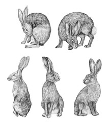 Collection graphic drawing in pencil. Sketches of a hares isolated on white. Vintage style. Set of realistic drawing of a rabbits.