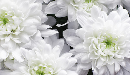 Background of white chrysanthemum flowers. Buds of white flowers.