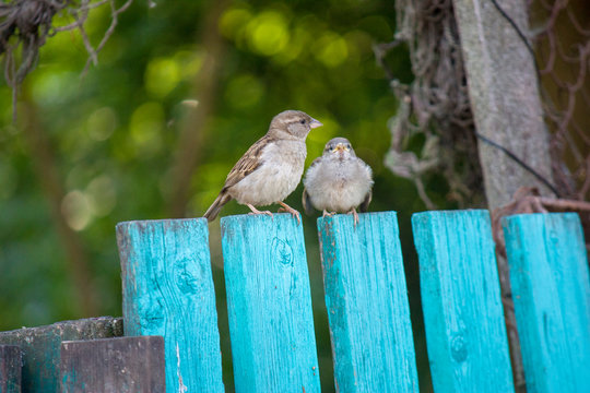 Sparrows sit on a green wooden fence, natural background