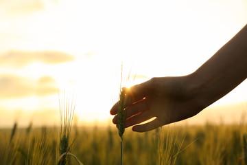 Woman in wheat field at sunset, closeup. Amazing summer nature Fotoväggar