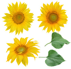 Flower composition. Flowers yellow sunflowers, green leaves. Isolated on white background.