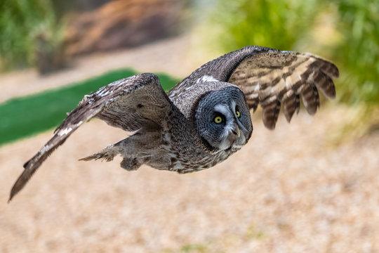 Short-eared Owl, Asio flammeus, owl flying, portrait