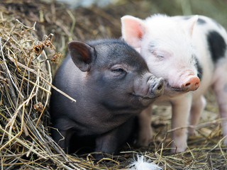 Cute little pigs in the farm. Portrait of a pig