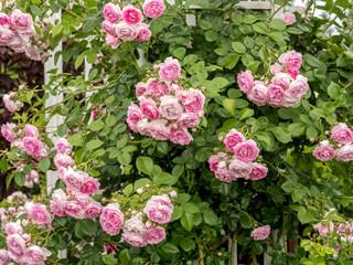 Pink rose shrub