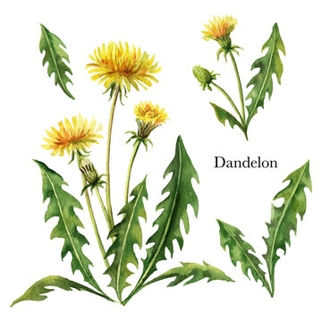 Hand drawn watercolor vector botanical illustration of Dandelion.