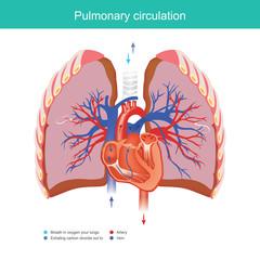 Pulmonary circulation.