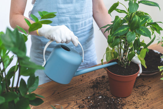 Gardener woman replant green plant at home