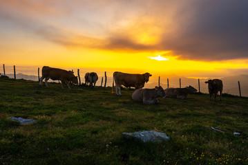 Cows in Oiz mountain, Basque Country, Spain
