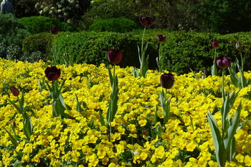 Tulips on Pansies in the Fort Worth Botanic Garden