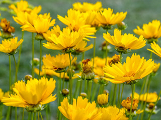 Coreopsis grandiflora flowers