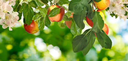 image of a tree with apples in the garden closeup