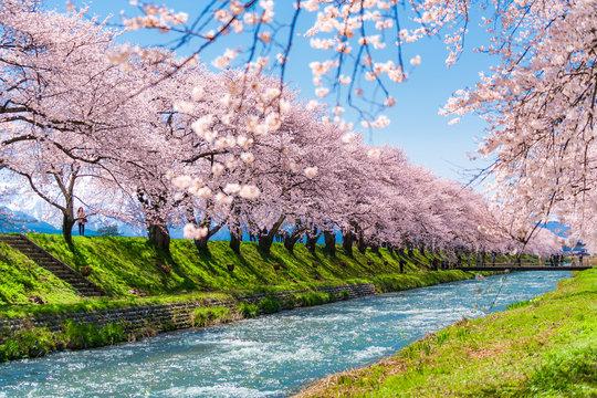 日本の春 富山県 舟川べり 清流沿いの桜並木