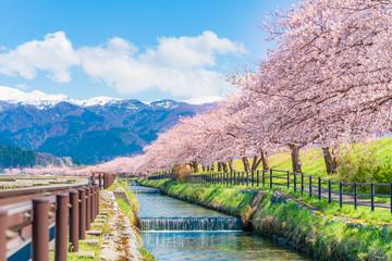 Fototapeta 日本の春 富山県入善町 黒部川堤防桜堤の桜並木 obraz