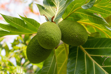 Jackfruit tree with plants fenne