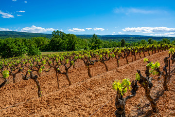 Fototapete - Production of rose, red and white wine in Luberon, Provence, South of France, vineyard on ochres in early summer