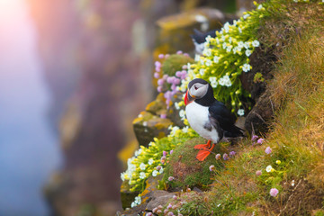 Cute iconic puffin bird, Iceland Fototapete
