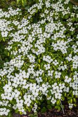 Blüten von Cornus kousa 'Goldstar'