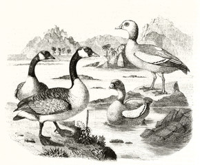 Old grayscale illustration of Canada goose (Branta canadensis) and Egyptian goose (Alopochen aegyptiaca) in a natural context rich of water. By Werner publ. on Magasin Pittoresque Paris 1848