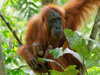 orang utan with little baby Fotomurales