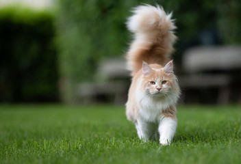 beige white maine coon cat with extremely big fluffy tail walking towards camera on green grass in the  back yard in front of wooden benches in blurry background looking at camera Wall mural