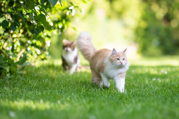 front view of a beige white maine coon cat with fluffy tail walking away from tabby british shorthair cat in the back yard on a sunny day Fototapete